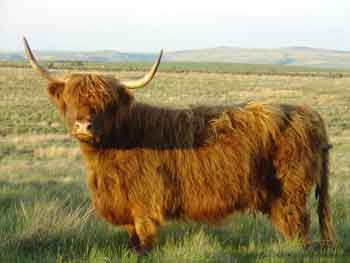 Red Highland Cow