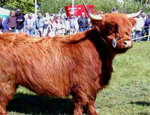 Highland Cow Germany