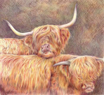 Portrait of Highland Cows