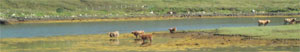 Group of cattle on an island