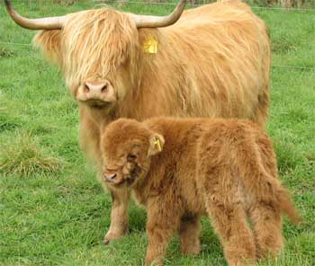 Baby highland cow - photo#23