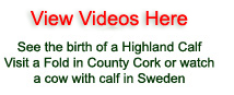 View Highland cattle videos