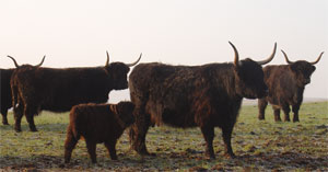 Part of the Killochries Black Fold - grou of black highland cattle