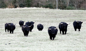 Black herd walking toward the camera with woods in the background