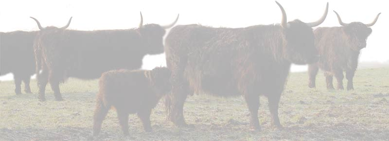 Banner of Black Highland Cows