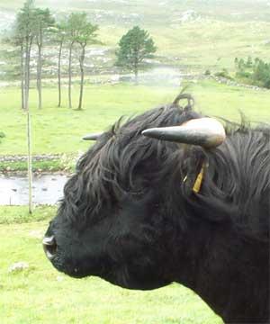 http://www.highlandcattleworld.com/images/maybe/black_bull_finlay.jpg